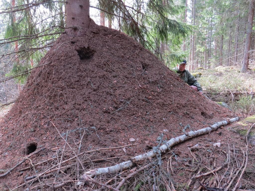 Mäktig myrstack i granskog, strax norr Skomakartorp, Sura, 24/3 2015. (Koord: 6619495-1520120). Foto: Torbjörn Holmstedt