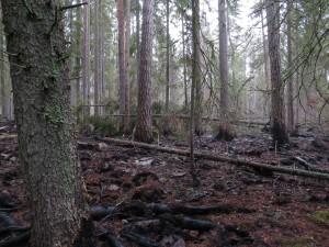 Branden 2014 påverkade delar av naturreservatet Färmansbo urskog. 18/11 2014. Foto: Tom Sävström
