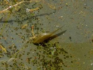 Salamanderyngel som klarat sig undan alla glupska trollsländelarver. Surahammar 23/8 2013. Foto: Einar Marklund