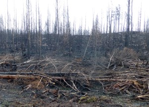 Branddödad ungskog vid Öjesjövägen. 26/10 2014. Foto: Einar Marklund