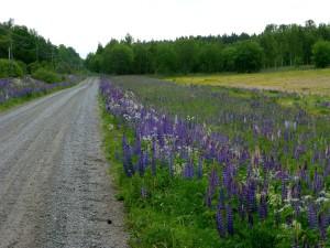 Lupinerna blommar längs Ekängsvägen. 28/6 2015. Foto: Einar Marklund