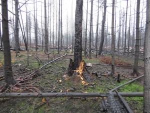 Redan hösten 2014 hade spillkråkan födosökt i bränd ved i det stora brandområdet. Märrsjön, Väster Våla, 14/11 2014. Foto: Tom Sävström
