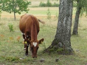 Betesdjuren är en förutsättning för att bevara biologisk mångfald i jordbrukslandskapet. Västsura ekhage, 12/9 2014. Foto: Tom Sävström