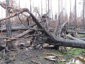 Raggbockens larver utvecklas i solexponerade tallågor. Hälleskogsbrännan, Uvberget, Fläckebo s:n, 26/10-2014. Foto: Tom Sävström