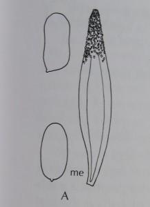 Kolnavlingens sporer och cystid, bild ur Funga Nordica, sid 73.