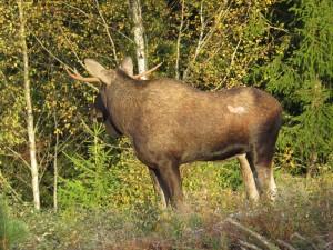 Älgtjuren lyssnar mot ungskogen. Svanåskogen, 30/9 2015. Foto: Tom Sävström