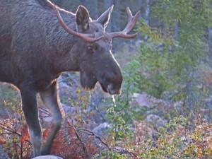 Sparkar lite i marken och dräglet droppar från mulen. Svanåskogen 30/9 2015. Foto: Tom Sävström