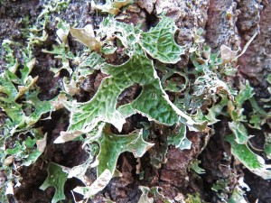 Lunglav förekommer mycket sällsynt i Suraskogarna, särskilt i gammal blandskog med inslag av asp. Arten är hotklassad NT. Här från Rönningsberget, Gunnilbo socken, oktober 2015. Foto: Tom Sävström