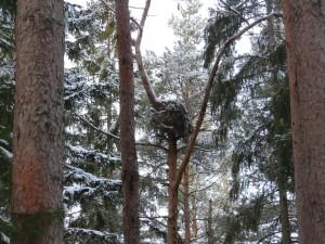 Bo av duvhök i gammal skyddsvärd barrskog. Häckade här 2013 och 2015. Duvhöken är rödlistad NT (Nära hotad). Surahammar i januari 2016. Foto: Tom Sävström