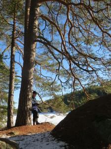 Fina tallbestånd finns vid Vågsjön, där vissa träds grenverk når marknivån. 24/2 2016. Foto: Tom Sävström