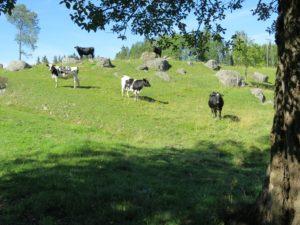 Med betesdjuren bevaras mångfalden i ängs- och hagmarkerna. Här en betesbacke vid Lyckans stjärna i Seglingsberg, 14/8 2015. Foto: Tom Sävström